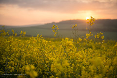 Rapeseed Flare (Nick Dautlich) Tags: uk flowers england sunrise landscape countryside britain hills landscapeuk
