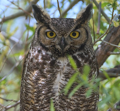 Great Horned Owl (Bubo virginianus) (fugle) Tags: nest nevada owl greathornedowl bubo owlet