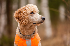 Poodle Portrait (Digikuvaaja) Tags: portrait dog pet cute green nature beautiful beauty animal mammal one golden friend looking outdoor head hunting young adorable canine domestic poodle curious breed standard hunt purebred pedigreed