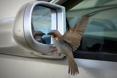 Am I gracious or what? (Cristian Ştefănescu) Tags: bird birds animal mirror fly spiegel sparrow vogel spatz oglinda zbor vrabie