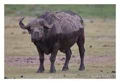 Syncerus caffer  - African Buffalo (Marc Nollet) Tags: nature canon kenya safari buffel 2015 synceruscaffer africanbuffalo kafferbuffel natuurfotografie nollet buffledafrique marcnolletblogspotcom spotkenyasafaris