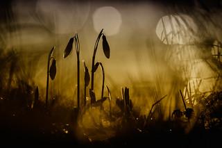 Gold snowdrop II