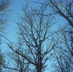Cold Winter Light (BunnySafari) Tags: trees winter snow cold guelph bluesky earlyevening yashicamat skywards 2015 reflectedlight porta160 starkeys