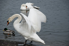 Cisne en Hide park