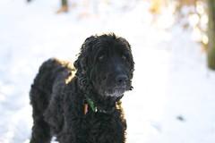 """Veda"" (littleowlarts) Tags: dog love sweet doodle pup veda ayurveda thevedas"