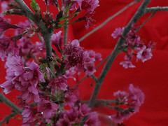 Cerezo IV (Karen Blix) Tags: lavega prunus cerezo rosaceae sakurafestival repúblicadominicana constanza prunuscampanulata カンヒザクラ festivaldelcerezo