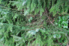 The Nest (Mk) Tags: tree harbor cozy deer fir local boughs oceanshores cablebox grays sortof saquatch imeangrayshharbor about3ftacrossand2ftdeep