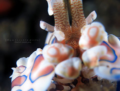 Harlequin shrimp (Randi Ang) Tags: bali macro canon indonesia photography underwater dive shrimp scuba diving powershot ang harlequin randi s110 amed hymenocerapicta
