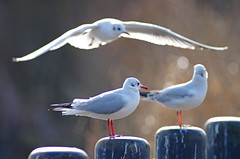 Room For One More? (Hugobian) Tags: park sea bird nature birds animal fauna wildlife gull gulls valley stevenage fairlands