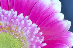Pink and White (Steven H Scott) Tags: uk pink white flower macro up petals nikon close centre details gerbera lowestoft d610 sigma180macro stevenscott notoexplore
