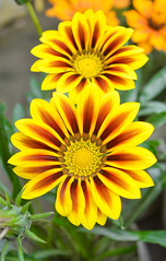 Gazania Yellow (Talha Islam) Tags: flower yellow nikon gazania d5100