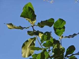 Quercus magnoliifolia Née 1801 (FAGACEAE)