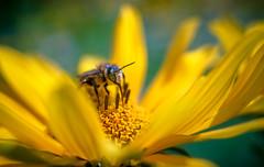 Bee Yourself (Sorin Mutu) Tags: flower macro zeiss 35mm bee explore sorin carl romania m42 flektogon f24 mutu mutusorin