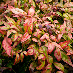 Nandina domestica 'Fire Power' (Alan Buckingham) Tags: red orange leaves yellow spring foliage evergreen shrub heavenlybamboo sacredbamboo nandinadomesticafirepower