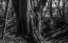 A Solid Base - Sharrards Wood WGC - April 2016 (GOR44Photographic@Gmail.com) Tags: wood trees bw white black tree mono woods fujifilm wgc 35mmf14 xpro1 sherrards gor44