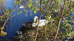 DSC00622 (Strike0utx) Tags: sun nature water animal swan iii sunny ii 100 rx rx100