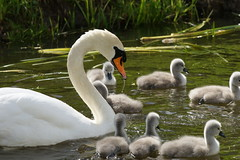 Hmmm (Ronaldc5) Tags: leiden spring swan sony zwaan tc14 a99 debult sal70200g