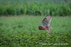 IMG_3909 (sullivan) Tags: nature animal taiwan  jinshan shortearedowl asioflammeus   ef300mmf4lisusm   canoneos7d     newtaipeicity      adobephotoshoplightroom5 suhaocheng sullivan sullivan