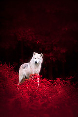 Wolf in Wonderland (Nguyen Phuc Royal) Tags: red summer wallpaper canada animal forest fur woods moody quebec fineart atmosphere foliage cao handheld dreamy hd concept fullframe parcomega cht lng co canoneos6d canonef70300mmf456lis thousandwordimages dustinabbott dustinabbottnet adobelightroom5 adobephotoshopcc