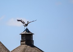 House Ornament (brev99) Tags: roof bird wildlife bluesky greatblueheron d7100 tamron70300vc highqualityanimals