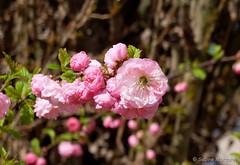 Frhlingsblten (Sockenhummel) Tags: pink spring fuji blossoms rosa finepix fujifilm hanami bauernhof x30 frhling blten mandelblten fujix30 vierfelder