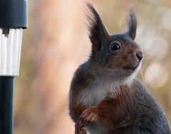 Is This Pose OK? (PuffinArt) Tags: norway nikon looking puffinart nikkor eurasian esquilo vr redsquirrel ekorn d300 sciurusvulgaris 18200mm vandamalvig