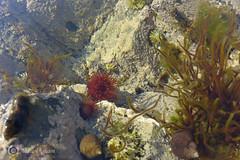 P1010359AI (Adele Ingham) Tags: sea pool rock urchin select