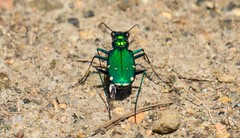 7K8A4486 (rpealit) Tags: nature scenery wildlife tiger beetle hatchery sixspotted pequest