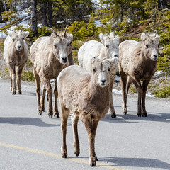 posse of bighorn sheep (the_green_squirrel) Tags: canada fauna mammal alberta banff bighornsheep lakeminnewanka