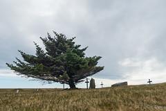 one of a kind (Fjola Dogg) Tags: naturaleza tree pinetree island islandia natureza natur natuur natura islande izland islanda lanature islndia naturen ijsland naturae naturalesa islanti islando izlanda gaulverjabjarkirkja lislande sland islann
