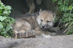 Hudson Bay wolf 2016-06-02-0013 (bzd1) Tags: baby cup nature animal mammal artis carnivore canis canidae canislupushudsonicus hudsonbaywolf