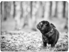 awaiting (Vladimir Alimpyev) Tags: dog pug blackdog