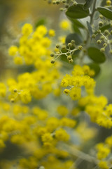 Acacia sp. (louisa_catlover) Tags: flowers autumn plant tree art nature floral yellow canon garden botanical eos flora dof artistic native bokeh outdoor australian may australia melbourne victoria depthoffield m42 f2 manual shrub fabaceae russian 58mm manualfocus acacia wattle helios 2016 australiannativeplant balwyn vintagelens helios442 maranoa 60d maranoagardens