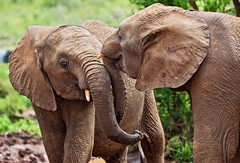 David Sheldrick Elephant Orphanage 13 (Grete Howard) Tags: safariinafrica safari whichsafaricompany bestsafaricompany calabashadventures travel holiday africa kenya elephants davidsheldrickwildlifetrust elephantorphanage wildelife animals nairobi