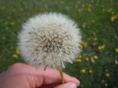 Even weeds are beautiful. (Uniqueful) Tags: plant flower macro outside outdoors weeds furry outdoor dandelion dreams dandelions