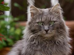 Grumpy Fynn (FocusPocus Photography) Tags: pet animal cat chat gato katze haustier kater tier fynn fynnegan