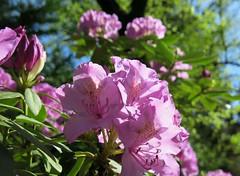 backyard Rhododendron (karma (Karen)) Tags: plants home backyard dof bokeh maryland baltimore rhododendrons 4spring