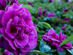 P1020246 (sebastiang2) Tags: plant flower europe royal poland polska panasonic baths warsaw warszawa kwiat azienki krlewskie fz72
