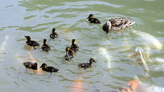 Stockente (railspotter graz) Tags: bird nature birds animal animals tiere duck natur ducks mallard enten vgel ente tier vogel wasservgel wildduck wasservogel