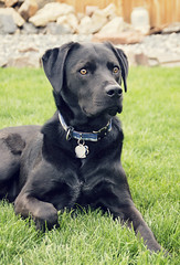 Untitled (Captured by AMK) Tags: dog pets dogs labrador canine canines petphotography project365