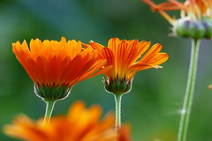 Ornamental flowers (Kaarela, Helsinki, 20150809) (RainoL) Tags: flowers summer plants plant flower finland geotagged helsinki august helsingfors fin asteraceae compositae uusimaa 2015 nyland kaarela hkansble hakuninmaa 201508 krble 20150809 geo:lat=6025089637 geo:lon=2487500303