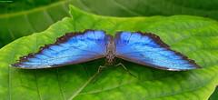 Morpho Peleides butterfly (Carlos Arriero) Tags: life blue naturaleza color colour macro nature animal azul butterfly nikon canarias mari vida tenerife tamron mariposa morphopeleides insecto 2470mm icoddelosvinos d800e carlosarriero