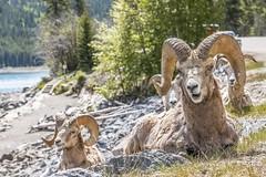 Grey Dawn Breaking (apeddle1982) Tags: yyc calgary alberta albertarockies southernalberta bighorn sheep banff banffnationalpark lake minnewanka