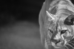 The Mountain Lion (jeff's pixels) Tags: portrait bw nature animal mammal lion cougar mountainlion