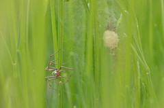 Mother and children (dfromonteil) Tags: spider araigne vert green babies bbs lavande lavender macro bokeh eggsac