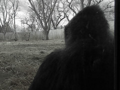 """""""I Don't See You...I Don't See You..."""" (ssepanus) Tags: zoo colorado sony denver co f828 apes gorillas"""