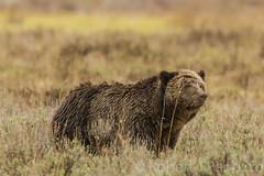 Battle scar (ChicagoBob46) Tags: bear yellowstonenationalpark yellowstone grizzly grizz grizzlybear