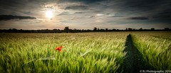Pop-5 (RJ Photographic) Tags: flowers sunset red field june landscape corn flora rj photographic poppy poppies 2016