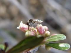 Geron (Geron) (carlos mancilla) Tags: insectos flies moscas olympussp570uz gerongeron