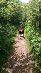 Hudson Awaits his Walk (Filmstalker) Tags: mobile woods labrador path hudson chocolatelabrador woodlandwalk